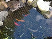8 Good Pond fish for sale