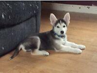 Alaskan Malamute pup for sale