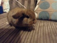 Baby mini lop rabbit