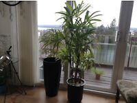 Indoor Lady Palm Rhapis Unusual easy Palm in Modern Black Double Plant Pot