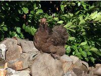 Chocolate pekin chicken/hen/bantam POL