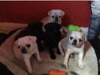 Litter Of 5 Pug Puppies KC Registered