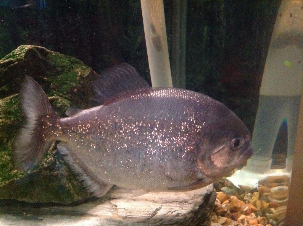Fish 3 large red bellied pyranha piranna piranha for 1041 the fish