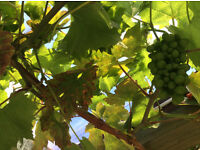 Hardy Outdoor Grapevines