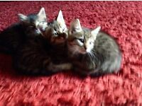 "Bengal lookalike kittens For Sale ""possible cross""!!! 😻😹"