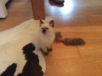 Gorgeous GCCF REGISTERED Ragdoll Kitten