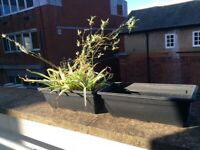 Large plant Pot/base