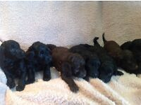 7 Beautiful F1 Cockapoo puppies