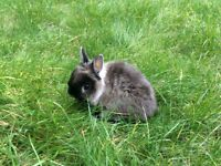 Dwarf rabbit looking for a lovely family