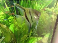 1 large angelfish silver/ black