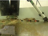 Bronze Corydoras (both grown and babies available) Tropical Fish Wirral