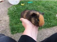 Lovely baby guinea pig