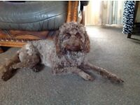 Shared care foster home for a Mini Labradoodle