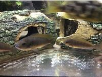 Lake Malawi Cichlid Fry (about 6months old)