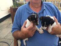 Jack Russell puppies 3 smooth haired black and white boys for sale