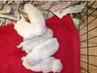 Rare WHITE PUG puppies