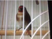 Nice beautiful goldfinch