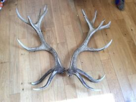 Huge Pair Red DEER Antlers