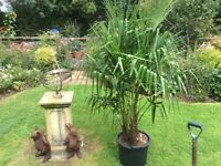 Palm Trees(Trachycarpus Fortunei) Multi-Stemmed for Sale.