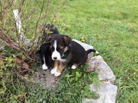 Sprollie Puppies Collie/Spaniel cross