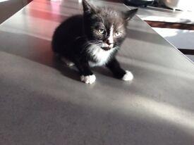 Two months old kitten girl