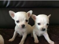 2 male puppy chihuahuas