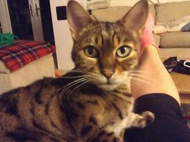Beautiful bengal boy cat in need of a stressfree home