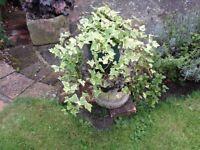Large trailing ivy plant