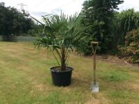 Palm Trees Trachycarpus Fortunei Large 43 Litre Trees For Sale. Each.