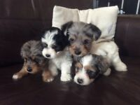 Poodle, Lhasa Apso x Jack Russell puppies for sale.