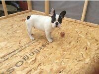 Ready now! French Bulldog Puppy
