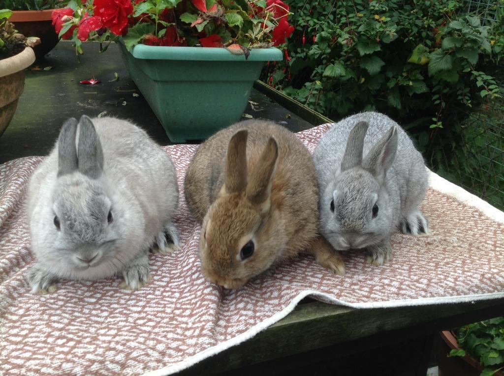 Pretty Baby Netherland Dwarf Rabbits