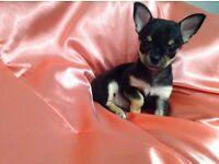 Kc chihuahua puppy's