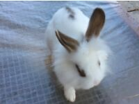 For Sale : 9 week old Rabbits