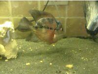 King Flowerhorn Cichlid