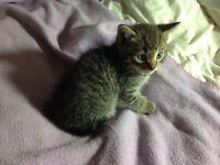 Part Bengal Kittens