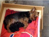 Pedigree Yorkshire terrier pups