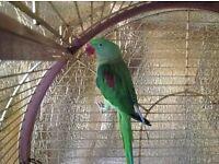 Alexandrine parrot tame