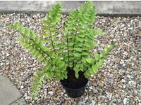 Japanese holly fern plant £2