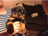 Rottweiler pups for sale ,male & female,STUNNING LITTER,ERYCK VONMADELINUS-KINDlEA LOOKS THE PART