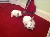 White Rabbits (2) for FREE to good home.