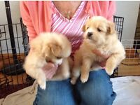 Pommerainian puppies , mum and dad family pets, love children , lovely temp .