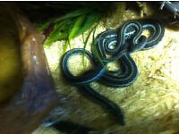 Westen montane Mexican garter snakes