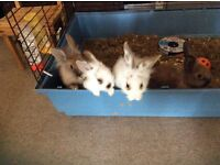 3 Young male lionhead rabbits for sale really friendly house reared