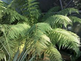 Tree ferns Dicksonia Antartica for sale.