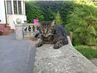 Missing Female Grey Tabby Cat Lisvane area