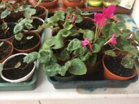 Cyclamen plants