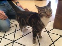 Male tabby cat found