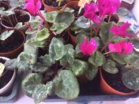 Indoor cyclamen plants