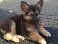 Pedigree German Shepherd Black/Tan Mid Hair Girl